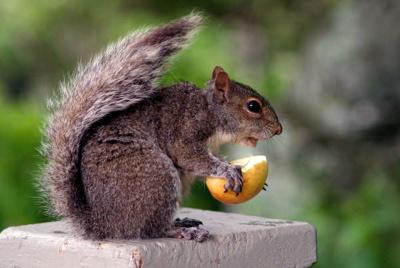 Squirrel @ Blackrock Village