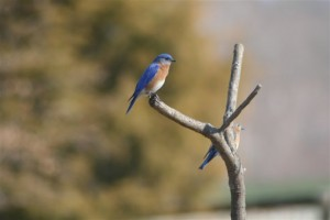 Photo By Henri Weems : And Henri sends us a pic of a bluebird for sure!