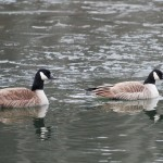 Canadian Geese On The Water