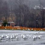 Seagulls In Lovingston. Yep, You Heard Us Right!