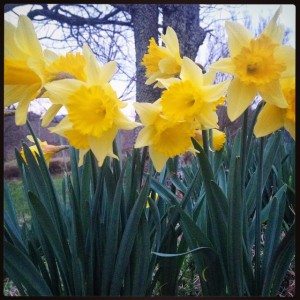 ©2015 Blue Ridge Life Magazine : Photo By Katherine (Kat) Turner : Kat Turner has no doubt that spring is on its way! She grabbed this shot of some beautiful daffodils blooming in Roseland this week.