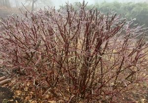 Thanks to Dima Holmes of Wintergreen Real Estate Company's mountain office for this photo of the ice encasing a shrub outside their office on Devils Knob around 3500 feet. Monday - December 6, 2016