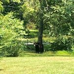 News Alert : Yak That Had Been On Run Hit By Car Along  US 29